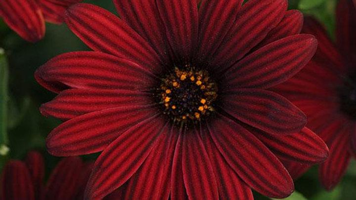 Osteospermum Serenity- Red