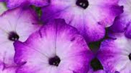 Petunia Crazytunia- Purple Storm