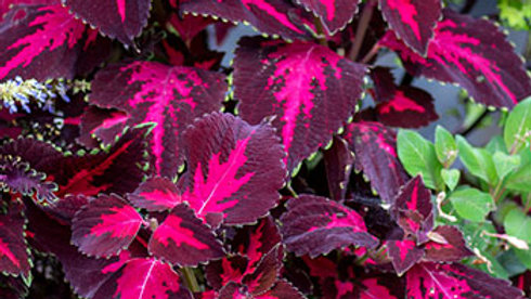 Coleus- Kingswood Torch