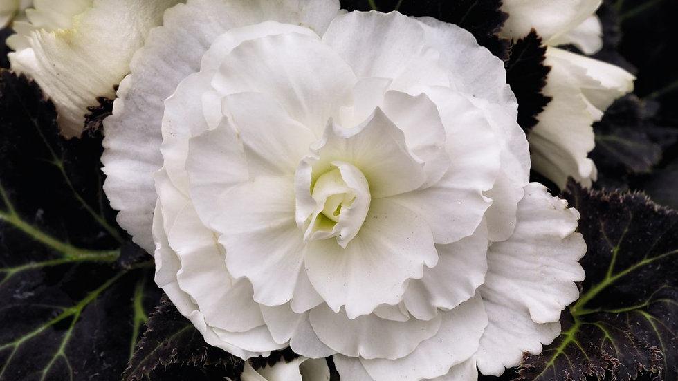 Begonia Non-Stop Mocca- White