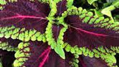 Coleus - Main Street Alligator Alley