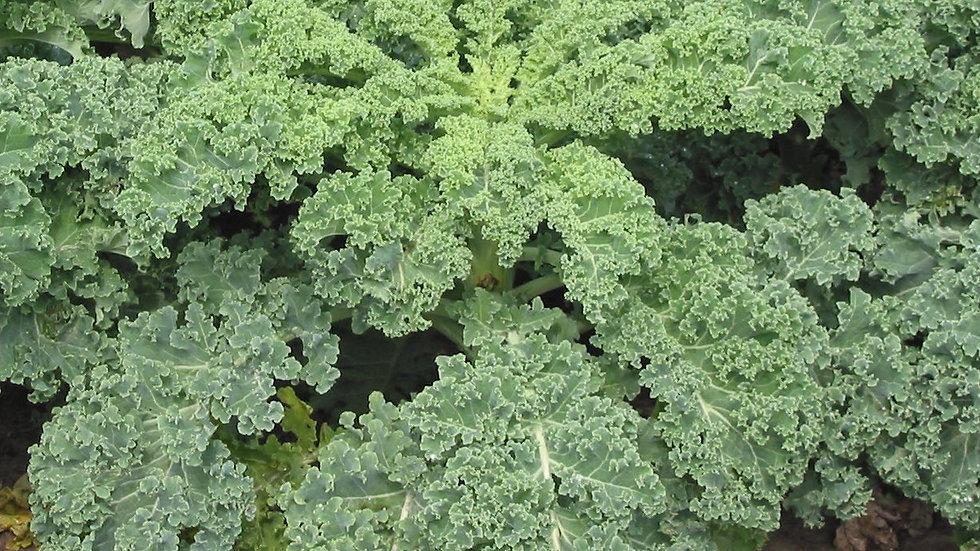 Kale- Blue Scotch Curled