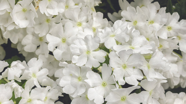 Verbena Superbena- Whiteout