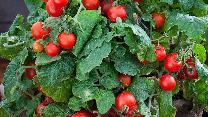 Tomato- Red Robin