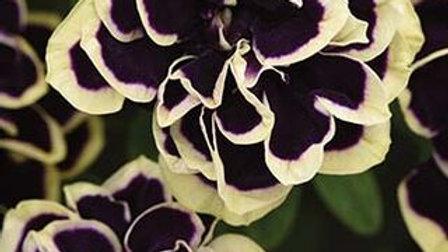 DBL Petunia- Midnight Gold