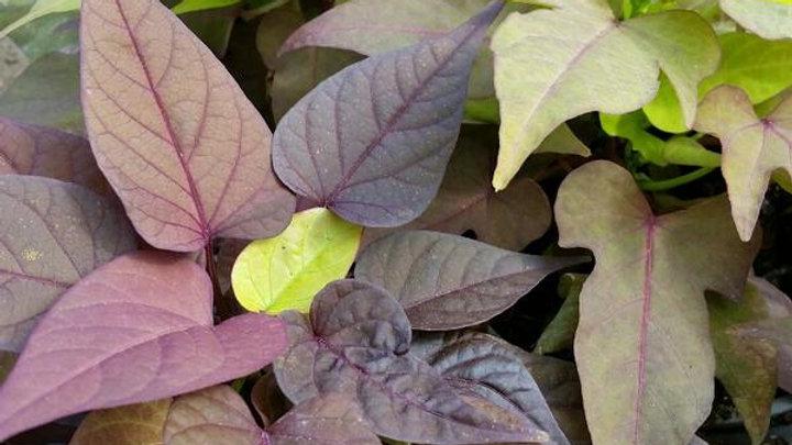 Ipomoea Flora Mia- Verdino
