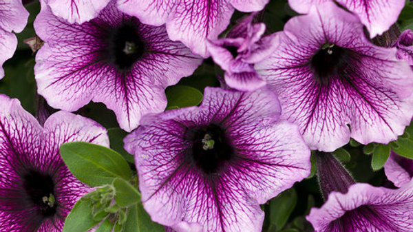 Petunia Supertunia- Bordeaux