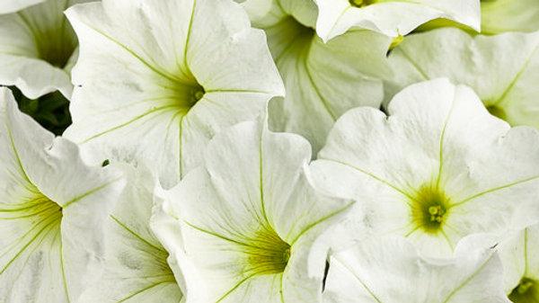 Petunia Supertunia - White