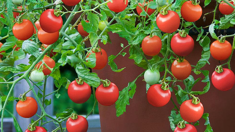 Tomato- Tumbling Tom Red