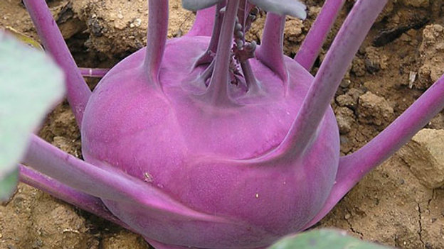 Kohlrabi- Early Purple Vienna