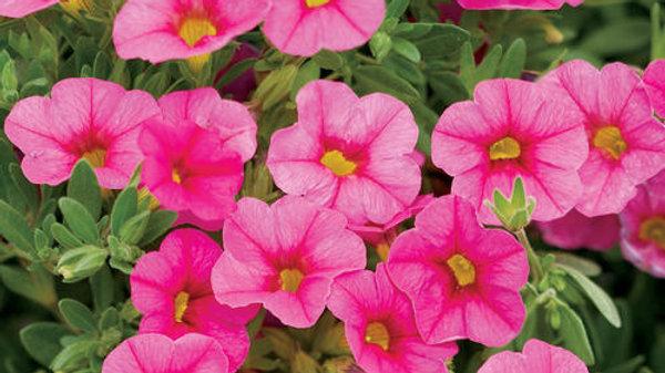 Calibrachoa Superbells- Pink