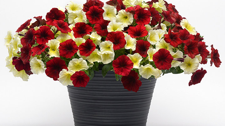 Combo Petunia- Easy Wave Mad About Red