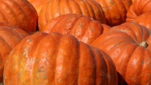 Pumpkin- Atlantic Giant