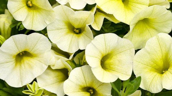 Calibrachoa Superbell- Yellow Chiffon