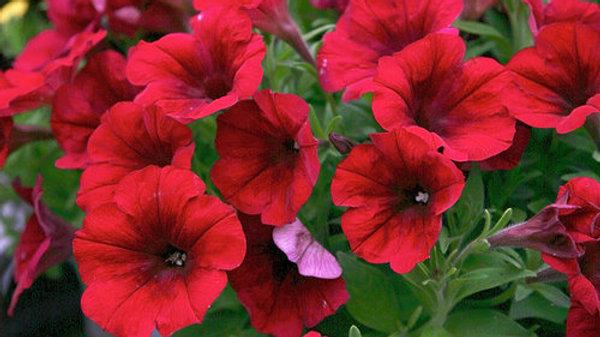 Petunia Crazytunia- Red Blues