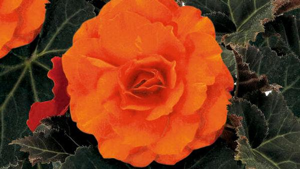 Begonia Non-Stop Mocca- Deep Orange