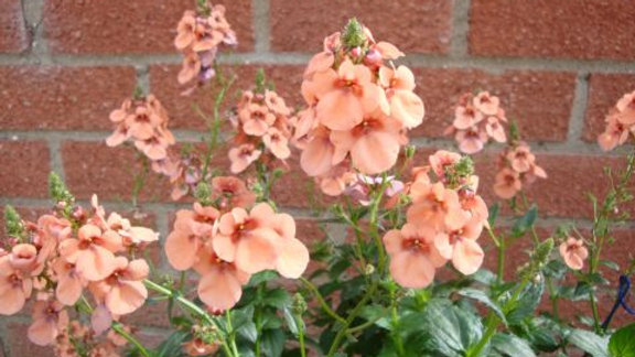 Diascia Tower of Flowers- Apricot