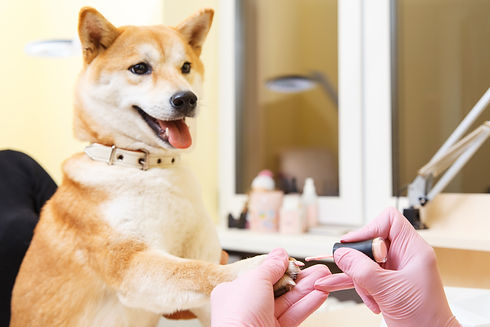 Shiba Inu dog an appointment at the beau