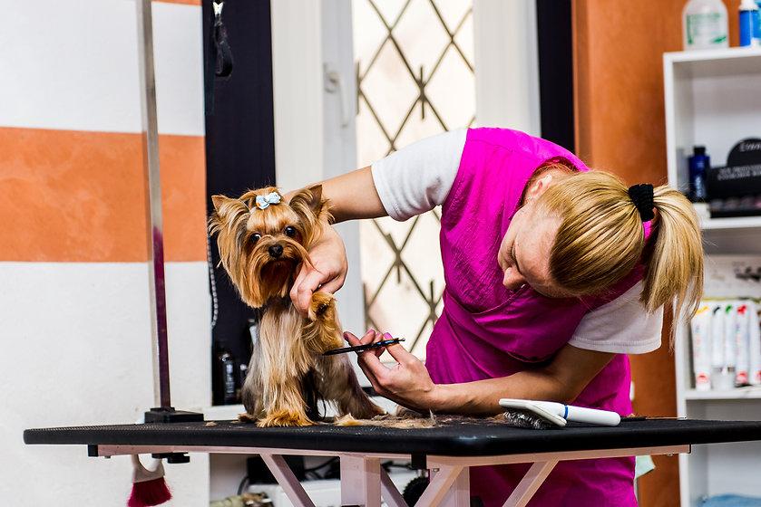 Grooming the Shih Tzu dog.jpg
