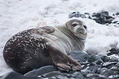 Lazy Seal