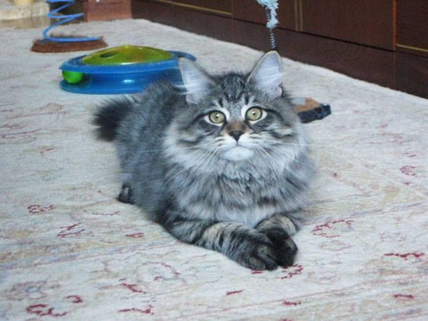 Ciceron Kitten