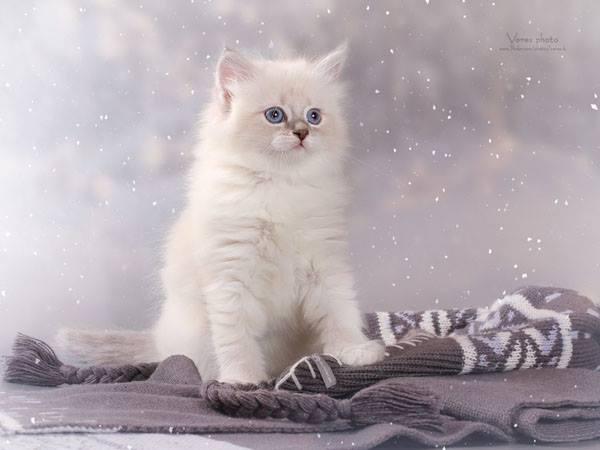 Cheysi Kitten