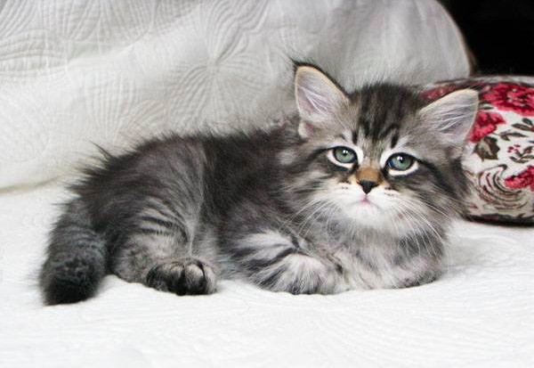 Royal Siberian Cattery | Siberian Kittens - Omaha, NE