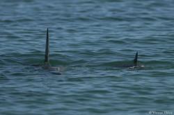 Nageoires de dauphins