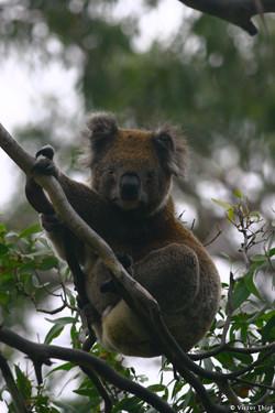 Koala fixant l'objectif
