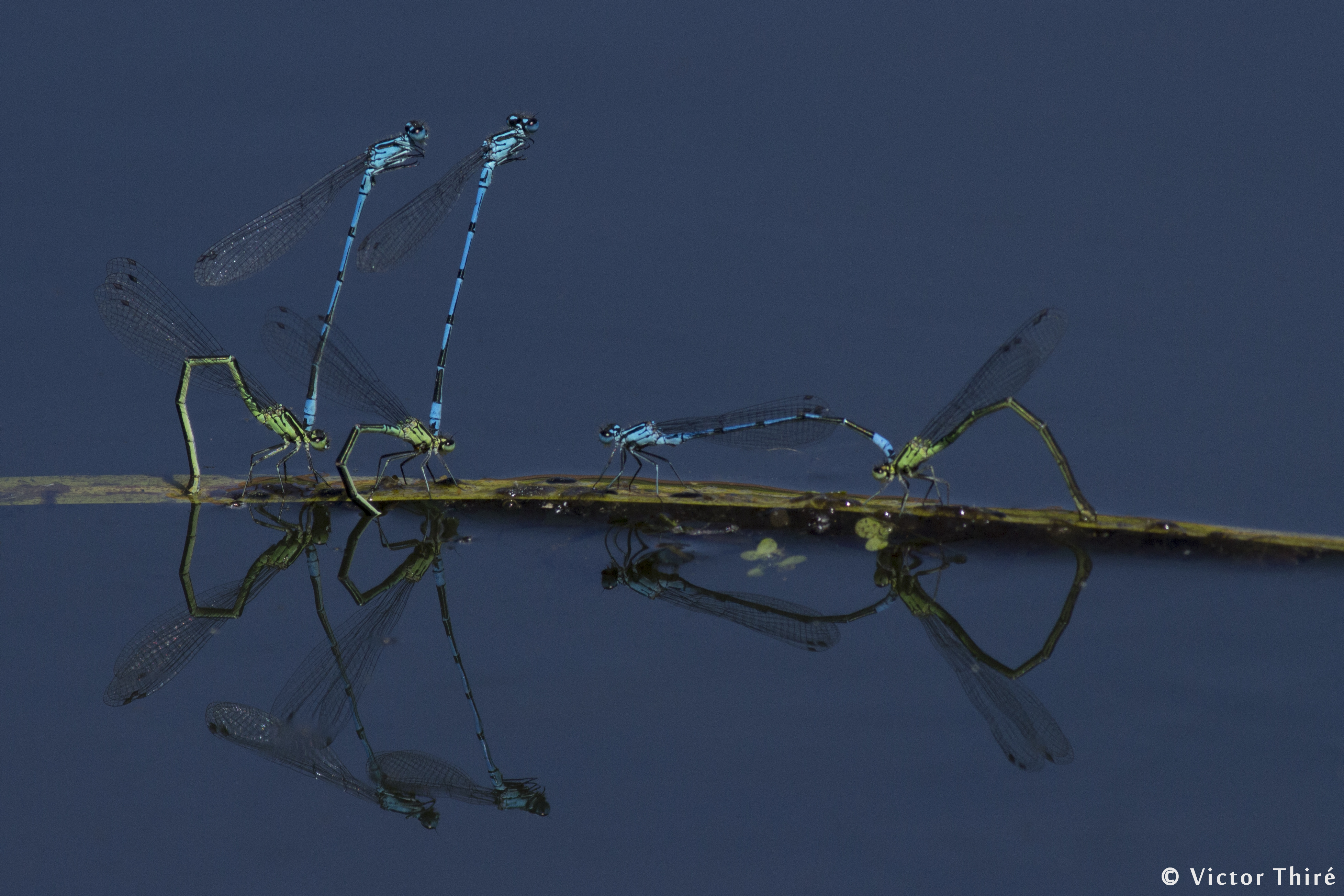 Reproduction d'Agrion