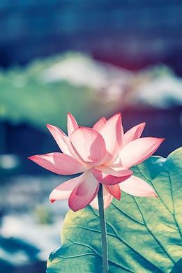 lotus or waterlilly flower in the pond.j