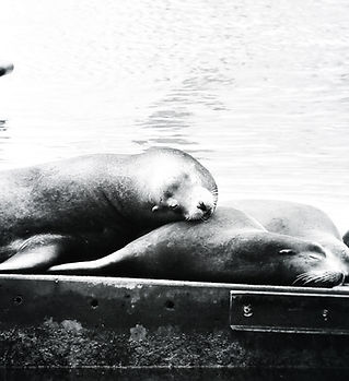 Sea Lions 12x12.jpg