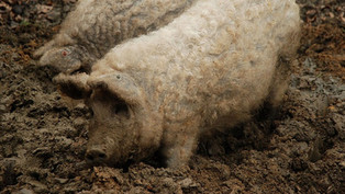 Vimixa contributes to breeding