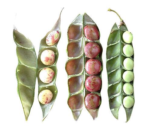 green bean pods