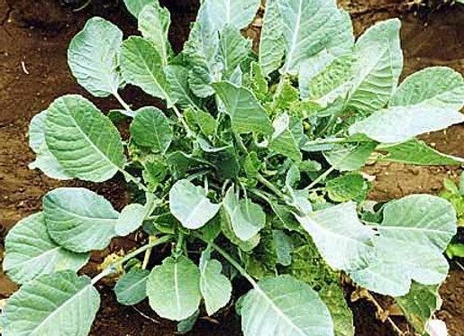 'Karinata' Kale