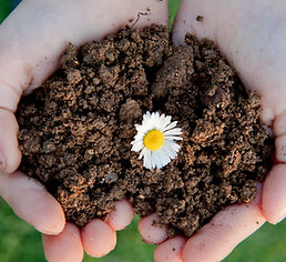 Hands cupping dirt with a daisy flower