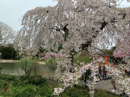 TREE TALES: UNDER THE CHERRY BLOSSOMS