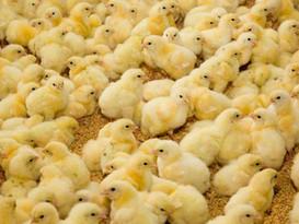 chick-on-rice-hulls.jpg