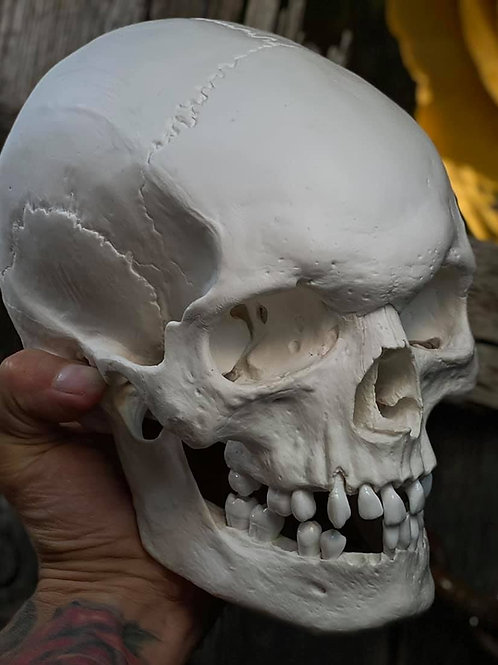 Life Size Skull Replica