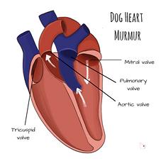 dogs-heart-murmur.png