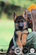 Image of past breeding from Vom Geliebten Haus. German Shepherd Puppies. Top Quality West German Lines. German Shepherd Puppies. Wisconsin German Shepherd Dog Breeder. Vom Geliebten Haus. Puppies. Red and Black German Shepherd Puppies. Solid Black Puppies. Top Quality. AKC registered German Shepherd Puppies. Any unauthorized copying, alteration, distribution, transmission, performance, display or other use of this material is prohibited.