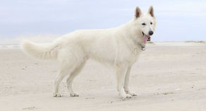 White-German-Shepherd-HP-long.jpg