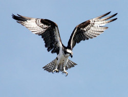 Der Fischadler