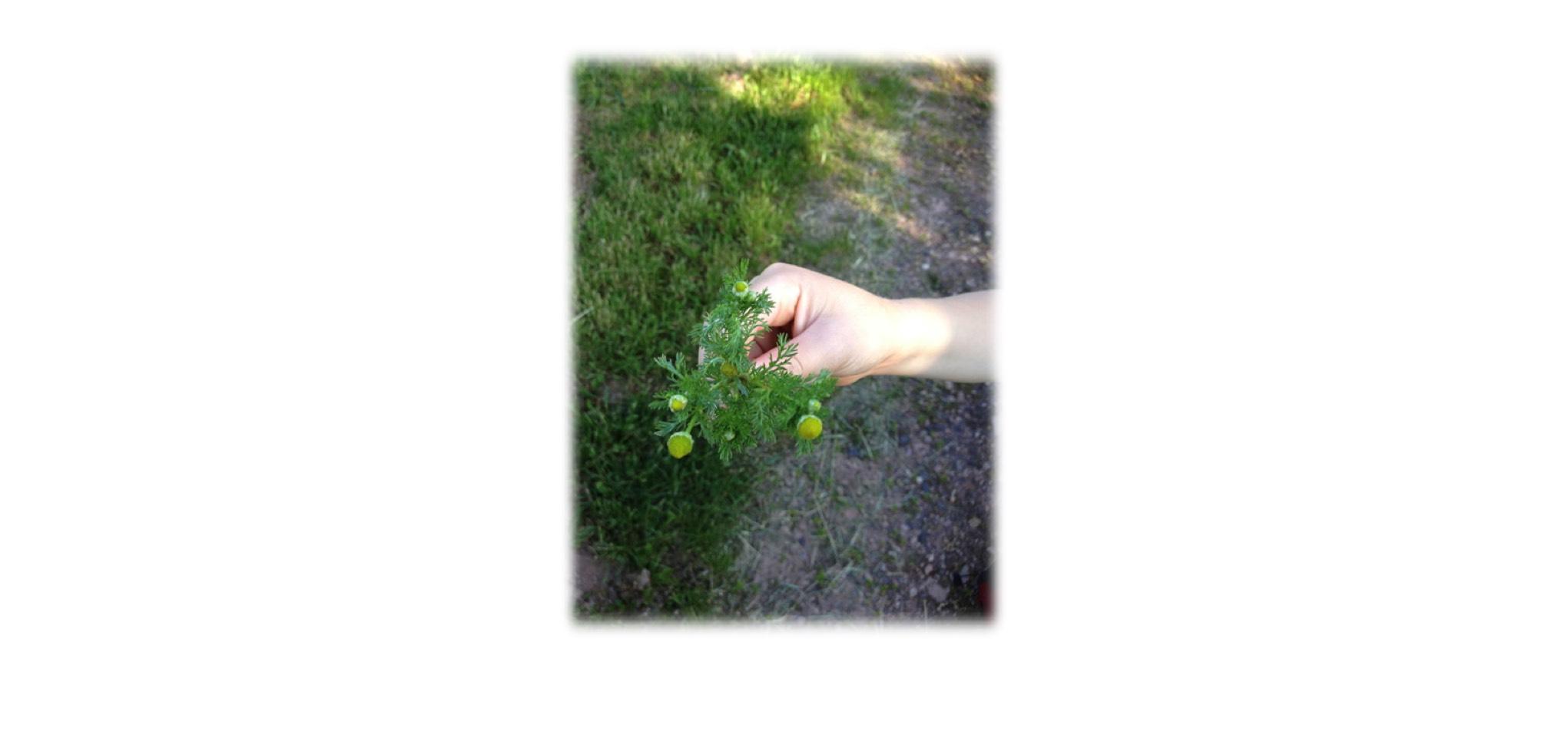 Die Strahlenlose Kamille