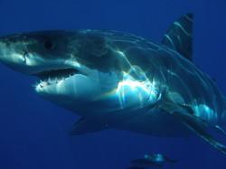 Der Hai