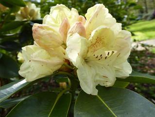 Rencontre avec l'huile essentielle de Rhododendron