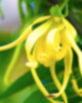 Ylang-Ylang 2.jpg