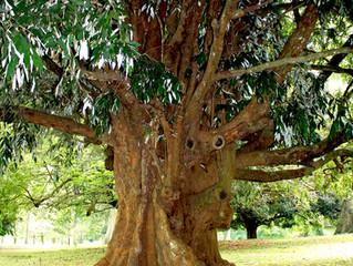 Rencontre avec l'huile essentielle de Bois de Gaïac