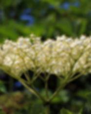 elderberry-flower-374505_960_720-2.jpg