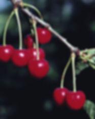 cherry-background-hd-1920x1200-141825.jp